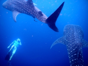Martin swimming with whale sharks in Indonesia